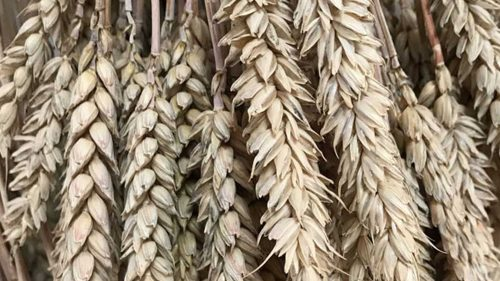 Wheat Slider